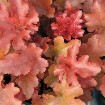HEUCHERA 'Red Fury'