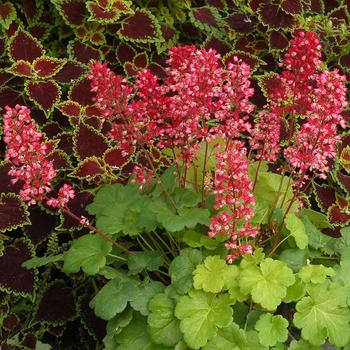 HEUCHERA 'Sweet Tart' (Little Cutie Series) ®