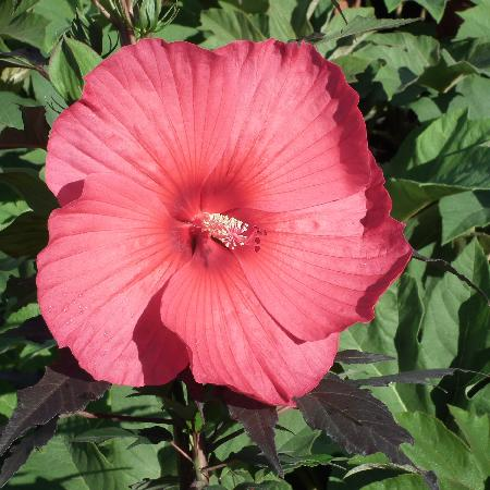 HIBISCUS moscheutos Carrousel ® 'Pink passion'