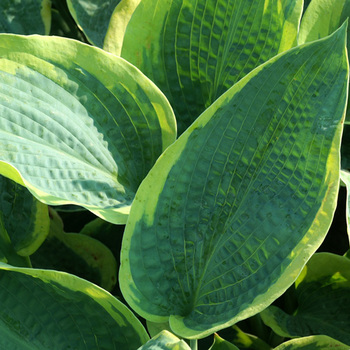 HOSTA 'Frances Williams' (Sielboldiana Group)