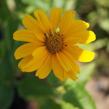 HELIOPSIS helianthoides 'Summer Sun'