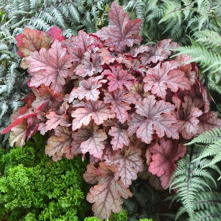 HEUCHERELLA 'Honey Rose' ®