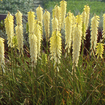 KNIPHOFIA 'Little Maid'
