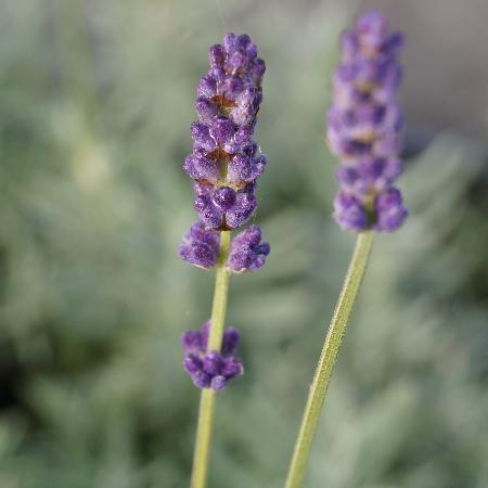 LAVANDULA angustifolia 'Peter Pan'