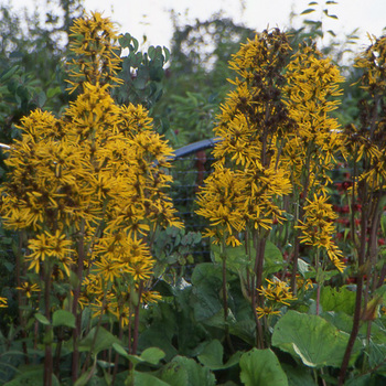 LIGULARIA dentata (clivorum)