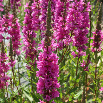LYTHRUM salicaria 'The Beacon'