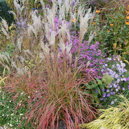 MISCANTHUS sinensis 'Little Miss' ®