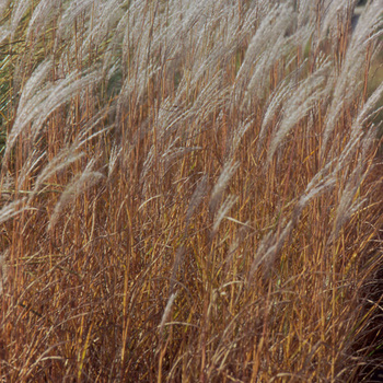 MISCANTHUS 'Purpurascens'