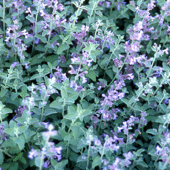 NEPETA 'Walker's Low' (Faassenii Group)