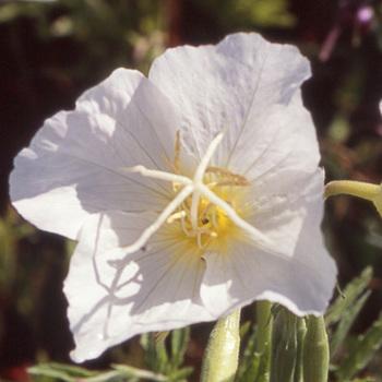 OENOTHERA speciosa 'Alba'
