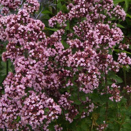 ORIGANUM vulgare 'Gentle Breeze' ®