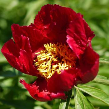 PAEONIA 'Early Scout'