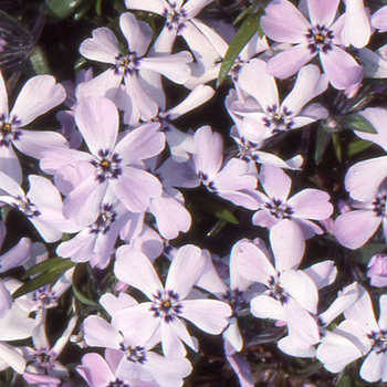 PHLOX 'Benita' (Subulata Group)