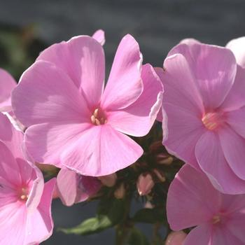 PHLOX 'Dresden China' (Paniculata Group)