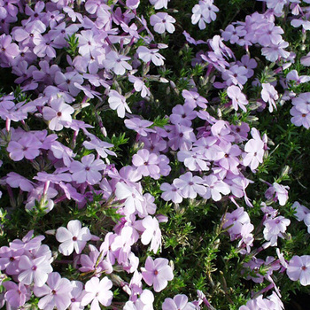 PHLOX 'Lilac Cloud' (Douglasii Group)