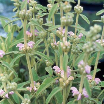 PHLOMIS purpurea ssp. caballeroi