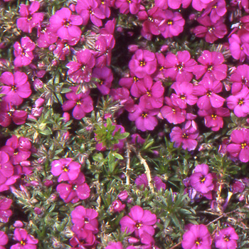 PHLOX 'Red Admiral' (Douglasii Group)