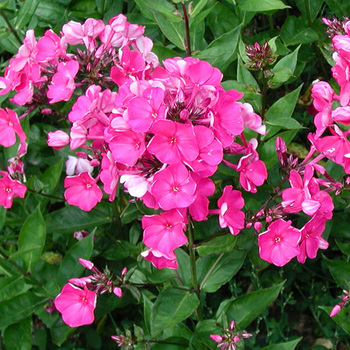 PHLOX 'Tenor' (Paniculata Group)