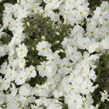 PHLOX 'White Admiral' (Douglasii Group)