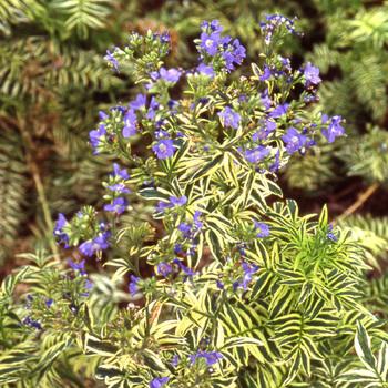 POLEMONIUM caeruleum 'Blanjou' ® ('Brise d'Anjou')
