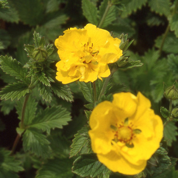 POTENTILLA 'Yellow Queen'