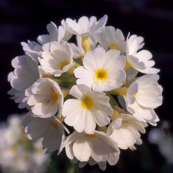 PRIMULA denticulata 'Alba'