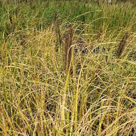PENNISETUM alopecuroides 'Lepage Gold'