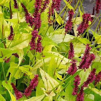 PERSICARIA amplexicaulis 'Golden Arrow'