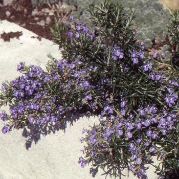 ROSMARINUS officinalis 'Prostratus' (lavandulaceus)