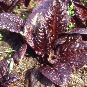 RUMEX montanum 'Rubrifolia'