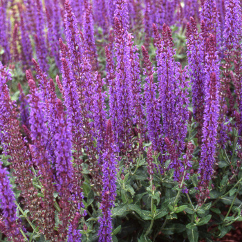 SALVIA nemorosa 'Blaukönigin'