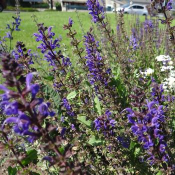 SALVIA sylvestris 'Rhapsody in Blue'
