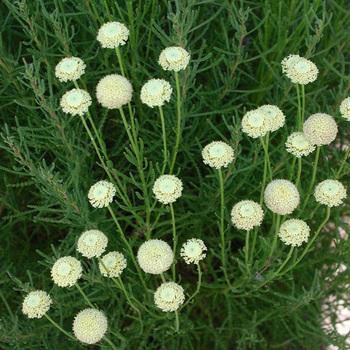 SANTOLINA rosmarinifolia (virens)