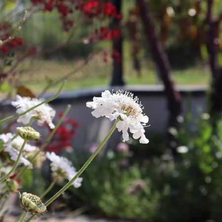 SCABIOSA columbaria 'Flutter Pure White' ®