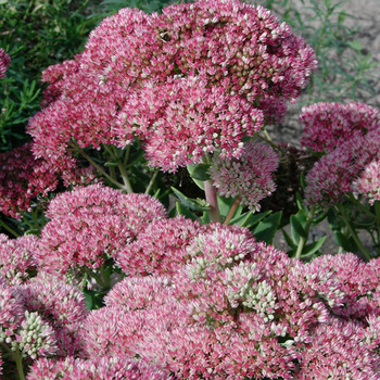 SEDUM 'Herbstfreude' ('Autumn Joy')