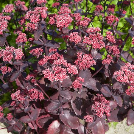 SEDUM 'Chocolate Cherry'