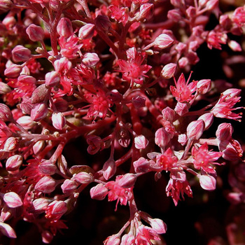 SEDUM 'Robustum' (S. 'Ruby Glow')