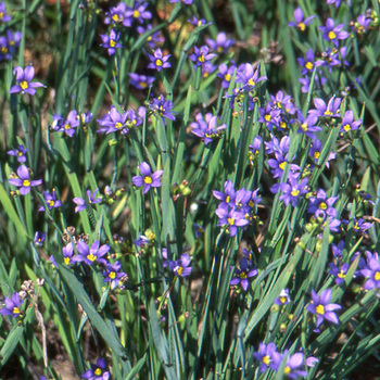 SISYRINCHIUM idahoense