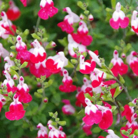 SALVIA microphylla 'Little Kiss'