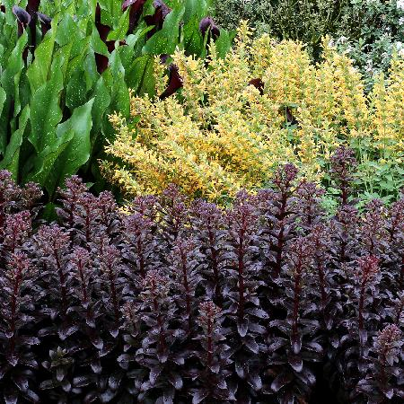 SEDUM 'Dark Magic' ®