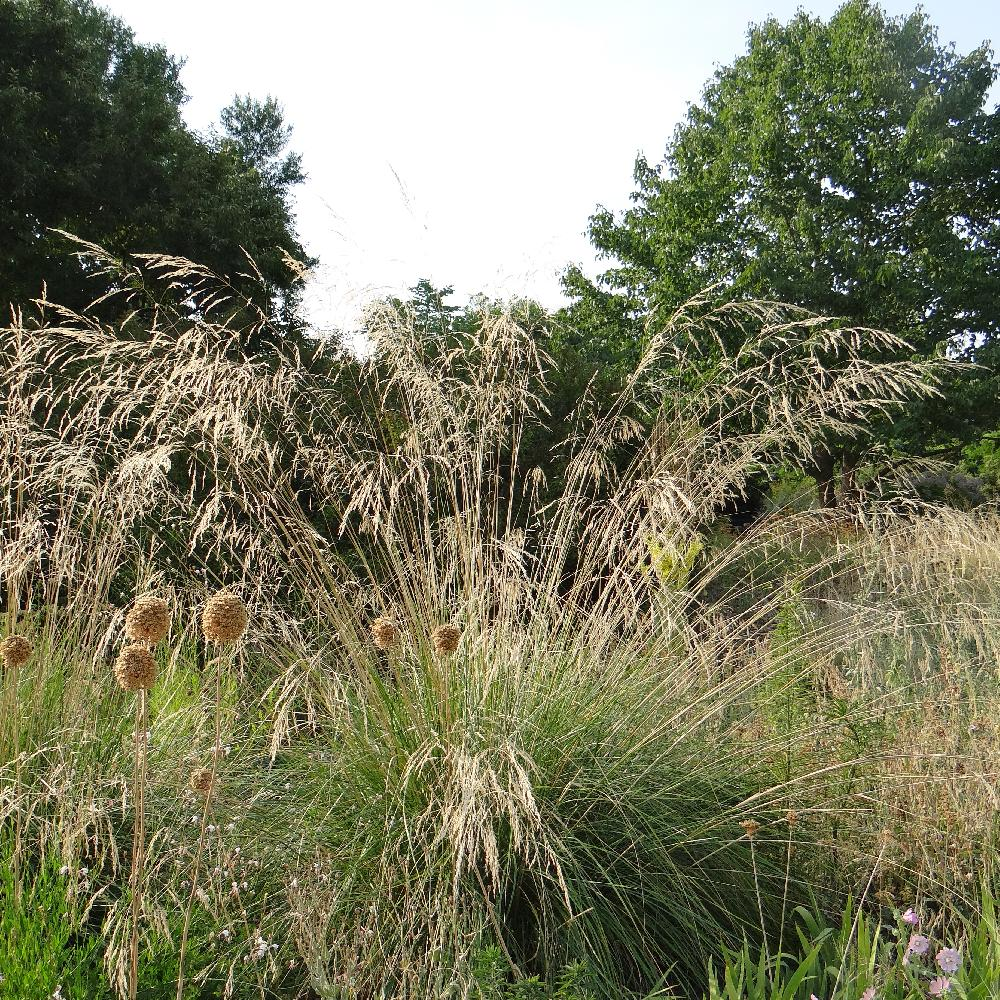 STIPA splendens (Achnatherum)