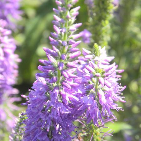 VERONICA longifolia 'Lilac Fantasy'